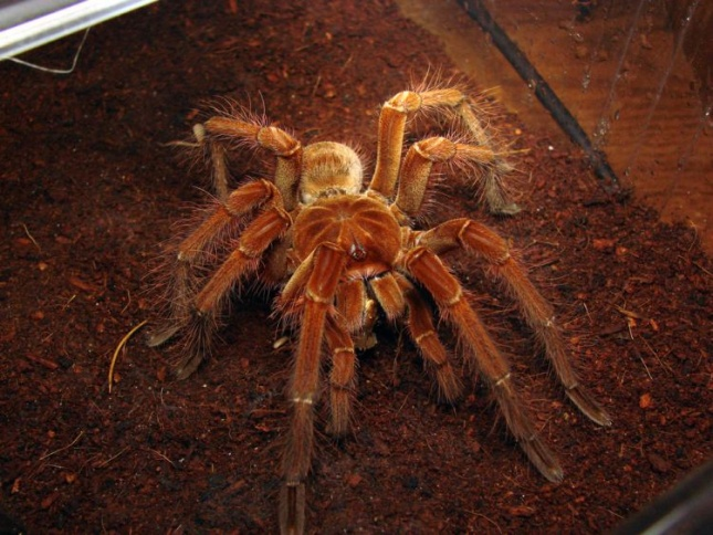 Птицеед-голиаф Theraphosa blondi